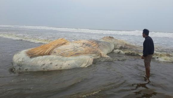 Chiclayo: ballena jorobada varó en la playa de Santa Rosa