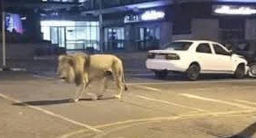 La foto del león caminando por las calles de Rusia.