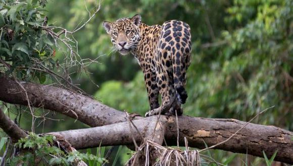 La Amazonía es uno de los últimos refugios de los jaguares. Foto: Getty images, vía BBC Mundo