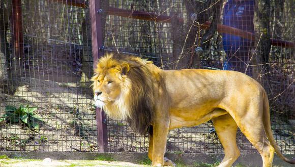 Temible león mordió el brazo de un trabajador mientras este se le acerca para arrojarle su carne. (Foto: Pixabay / referencial)