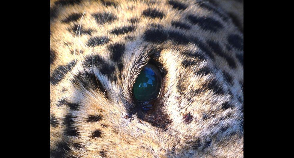 'Mowgli' estuvo por un mes y medio con la leona y sus dos cachorros. (Referencial - Pixabay)