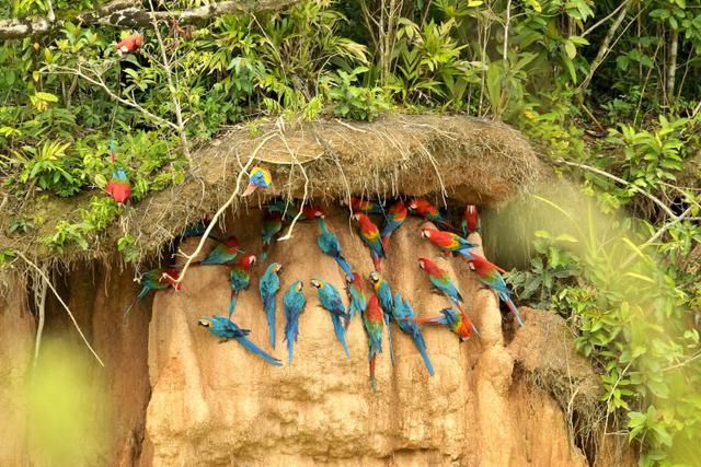 Colpa de guacamayos en la Reserva Nacional Tambopata, uno de los lugares con gran afluencia de turismo en Perú. Foto: Liz Villanueva.
