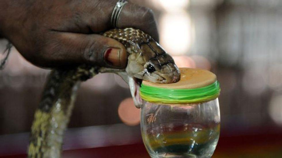 Los antídotos al veneno de serpiente suelen ser muy caros y pueden provocar alergias letales. (Foto: Swaminathan Natarajan)