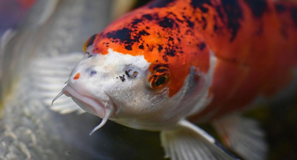 El pez fue atrapado en Wisconsin, Estados Unidos. (Foto: Referencial - Pixabay)