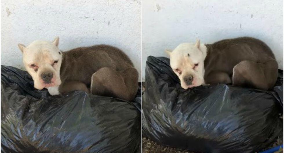 Así fue el radical cambio de Kita, una perrita que fue encontrada durmiendo sobre bolsas de basura en las afueras de una vivienda de Kentucky, Estados Unidos. (Foto: Captura)