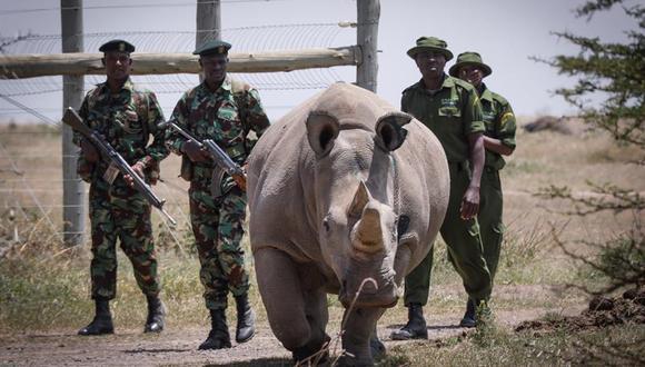 Escoltada por guardabosques y cuidadores la rinoceronte blanca de diecinueve años Fatu -una de las dos últimas de su especie- camina hacia la zona de pasto en la Reserva Ol Pejeta, a 200km de la capital de Kenia, Nairobi. (Foto: EFE)