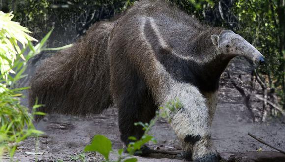 Un oso hormiguero en el Gran Chaco argentino. Foto: Greenpeace Argentina.