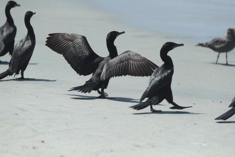 Además de gaviotas, hay varios ejemplares de cormoranes (Phalacrocorax brasilianus) en las playas limeñas. (Alessandro Currarino / GEC)