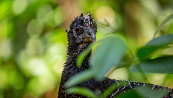 El muitú es un ave nidífuga, es decir que los pichones abandona los nidos rápidamente para seguir a sus padres. Foto: Matías Rebak.