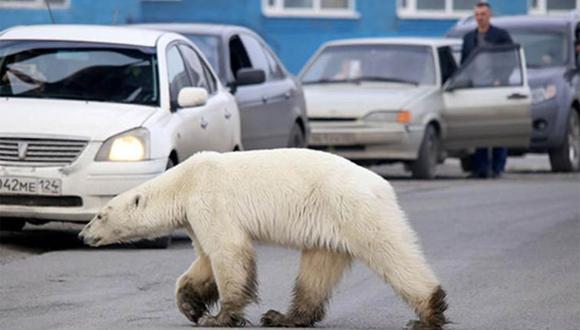 No es la primera vez que un oso polar se aleja de su hábitat. En 2019 la ciudad minera de Talnaj, en Rusia, vio como este plantígrado del ártico llegó a buscar comida. | Foto: Zapolyarnaya Pravda/Irina Yarinskaya