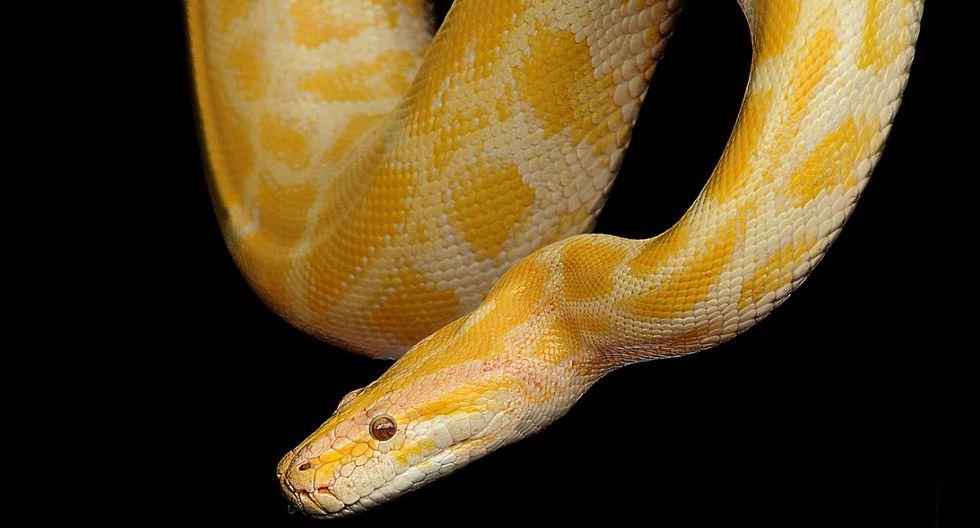Una serpiente pitón fue el invitado menos esperado en una universidad tailandesa. (Foto: Denis Doukhan / Pixabay)