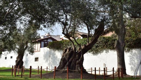Gianfranco Vargas encontró el olivo que plantó el santo limeño y cuyo tronco mide 7,3 metros de perímetro.