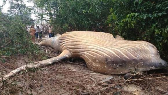 ¿Qué hace una ballena de más de 10 metros en plena selva amazónica? (AFP)