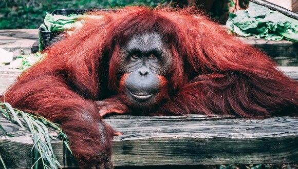 El orangután no lo pensó dos veces y se ofreció para ayudar a alguien que creía en apuros. (Fotos: Pixabay/Referencial)