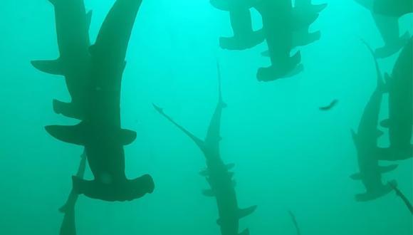 Tiburones martillo a pocos metros de Ketty He, una mujer que buceaba en las costas de Australia. (Foto: Storyful Rights Management / YouTube)