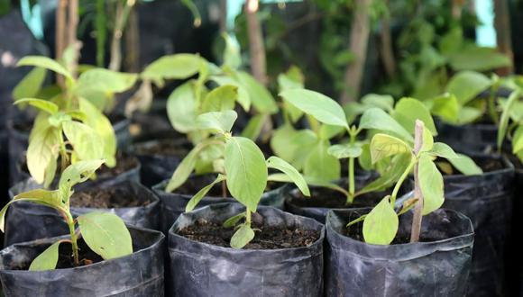 La Universidad Nacional de Ingeniería (UNI) recibió la donación de 24 árboles de la quina. (Foto: Andina)