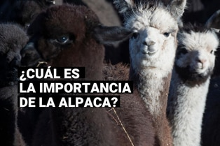 Día Nacional de la Alpaca: cuál es la importancia de este camélido peruano