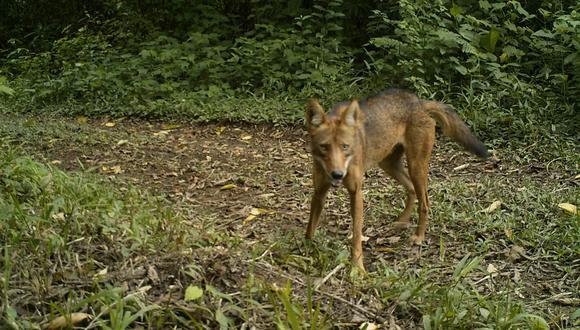 El coyote puede vivir desde el desierto hasta en el páramo. Foto: José Fernando González-Maya.