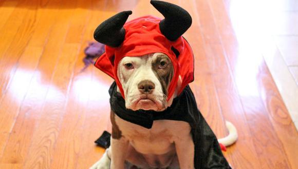 Los disfraces pueden restringir la forma en que se comunican los animales. Aunque en esta foto la mirada del Pitbull pareciera dejar bastante claro lo que está pensando.