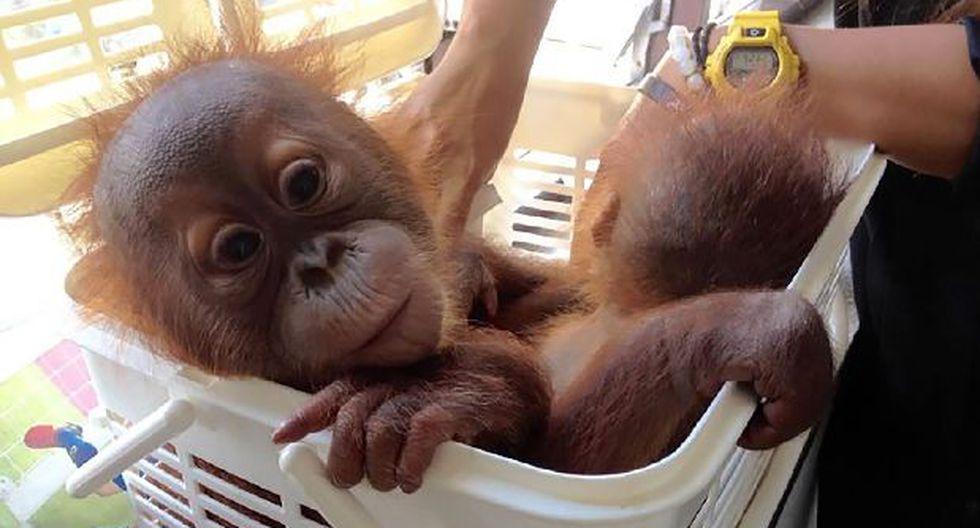 2 orangutanes son salvados de traficantes gracias a WhatsApp