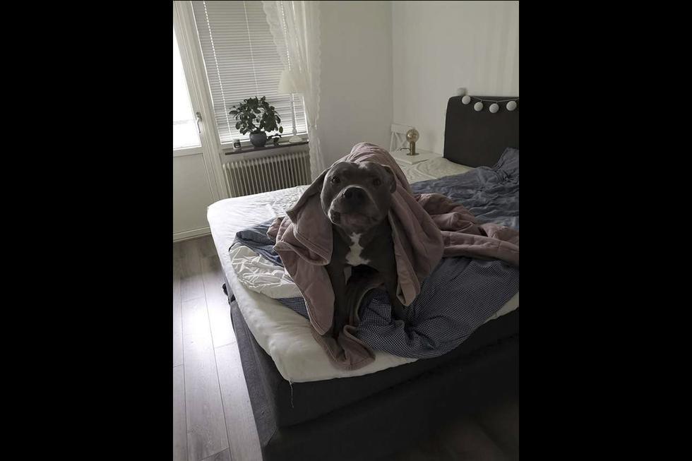 Simba era el pitbull más temido de un vecindario que terminó salvando la vida de una vecina. Su historia es viral en Facebook. (Arjanit Mehana)