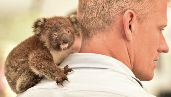 Un bebé koala huérfano reposa en el hombro de un veterinario en un hospital de campo improvisado en la isla Canguro. (Foto: AFP)