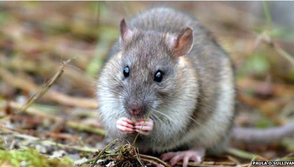 Se inicia el mayor proyecto de erradicación de ratas