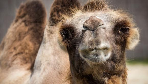 Un camello invadió la vía ferroviaria y provocó que un tren retrase su recorrido por más de 40 minutos | Foto: Pixabay / Bergadder (Referencial)