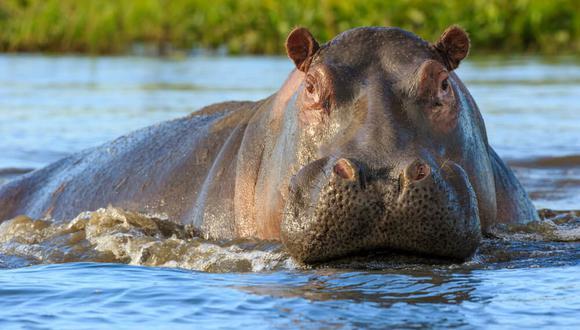 (Foto: Hipopótamos)