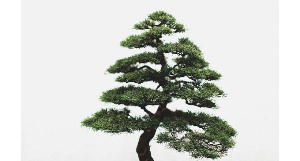 Las deslumbrantes fotos que muestran la belleza de los bonsáis - 5