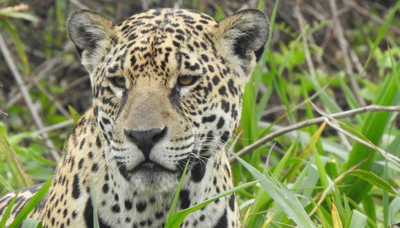 El jaguar es el felino más grande de América. Foto: Martin Schaefer.
