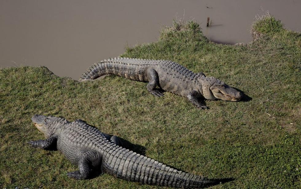 Dos caimanes pelearon en un campo de césped de Carolina del Sur. (Foto: Pixabay)