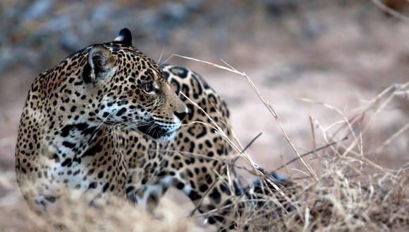 Uno de los animales más emblemáticos de Bolivia y Latinoamérica, el jaguar, se encuentra en peligro sobre todo por la deforestación y el tráfico de sus partes. Foto: Daniel Alarcón / Sernap