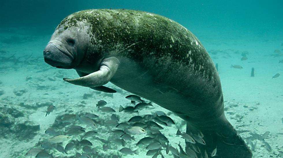 Paraíso animal: En este río de EE.UU viven miles de manatíes - 1