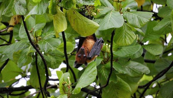 Los murciélagos son vectores de muchas enfermedades. (Foto: Pixabay)