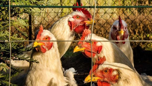 Casi un millón de aves abatidas en Japón por la gripe aviar