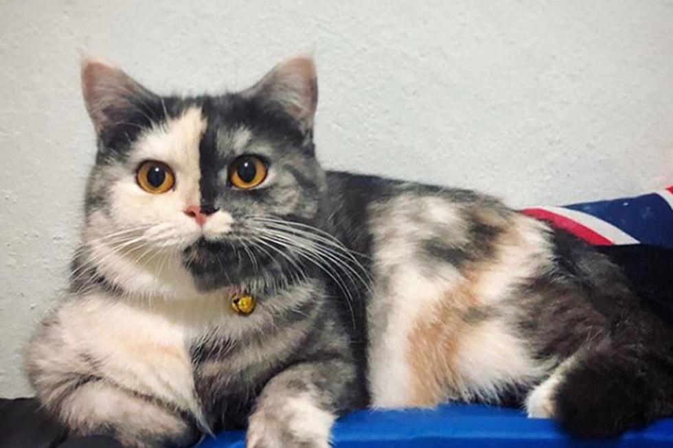 El aspecto de la gata ha impresionado bastante a miles de usuarios en redes sociales. (Instagram: wendytwofacescat)