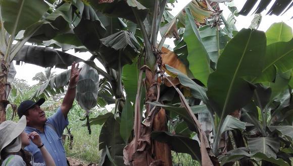 Colombia oficializó la presencia de Fusarium Raza Tropical 4 a principios de agosto pasado. El hongo puede permanecer en el suelo hasta por 20 años, explica la agrónoma Mary Carmen Yamamoto. (Foto: Acorbat)