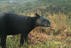 Día Internacional del Tapir: el 'arquitecto del bosque' enfrenta la extinción