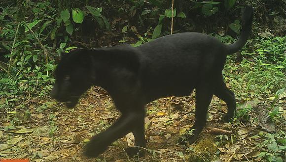 Jaguar melánico en Panamá. Foto: Proyecto Kaminando.