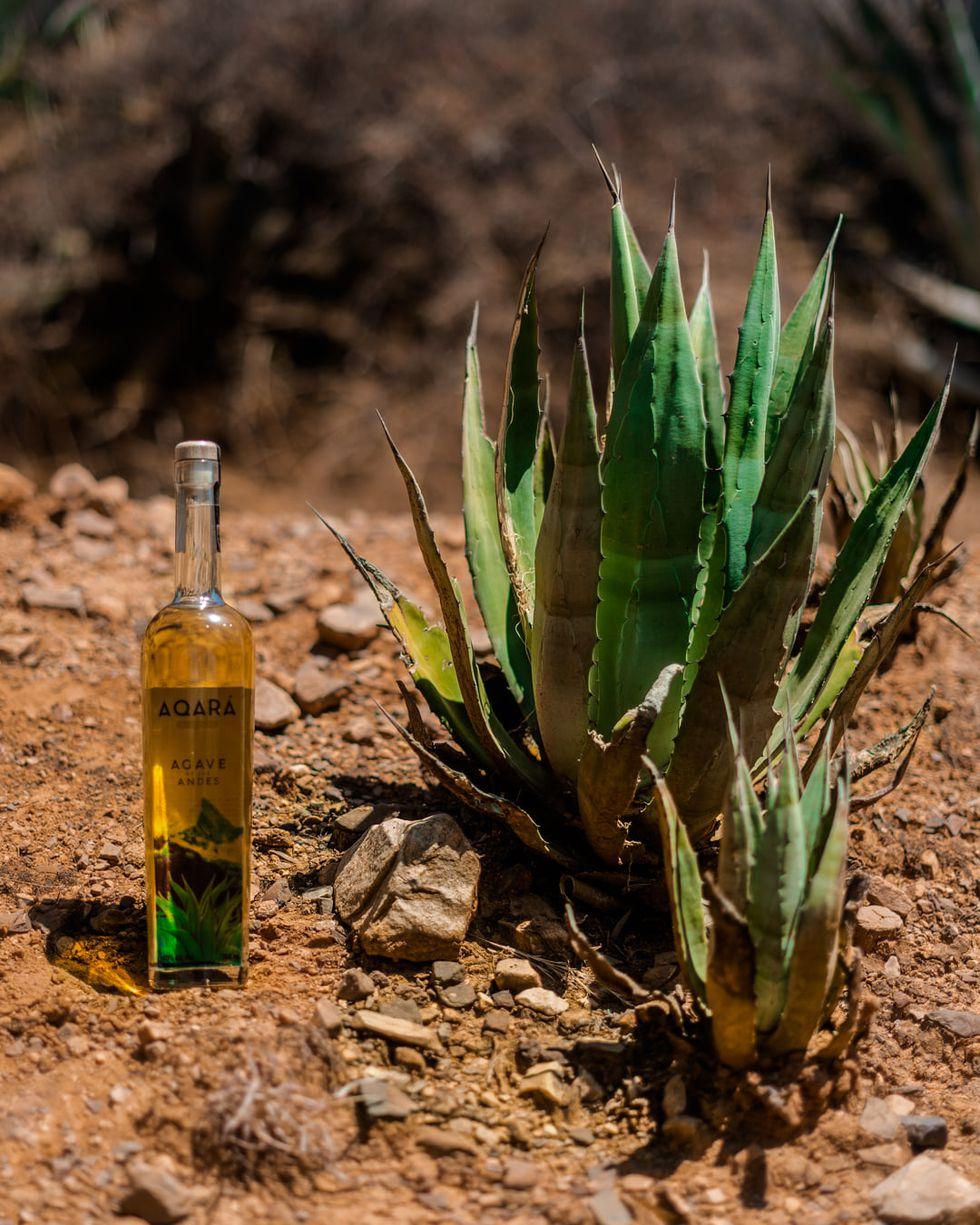El agave de los Andes fue utilizado cientos de años atrás en la época Precolombina.