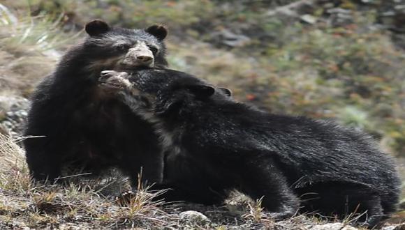 Machu Picchu: monitoreo comprueba presencia de oso andino