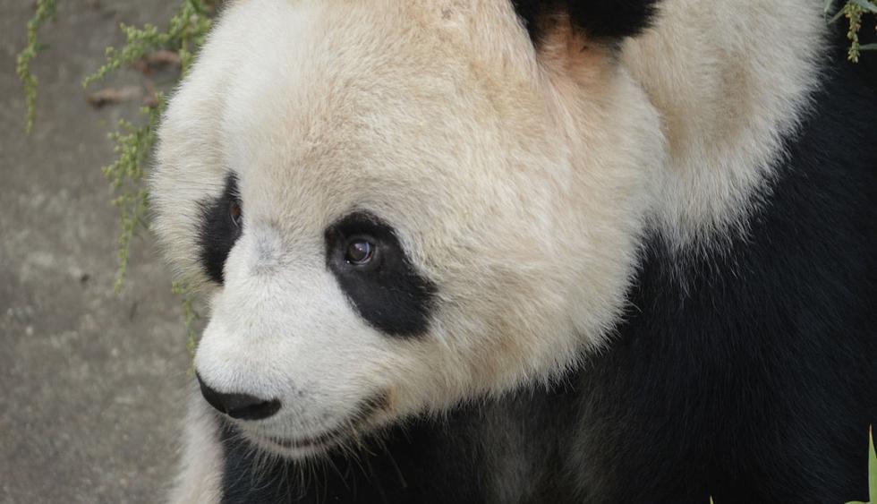 Esta es la historia del panda que sufrió el terrible ataque de unos malos turistas que no dudaron en lanzarle piedras cuando el animal dormí plácidamente. (Foto: Pixabay)