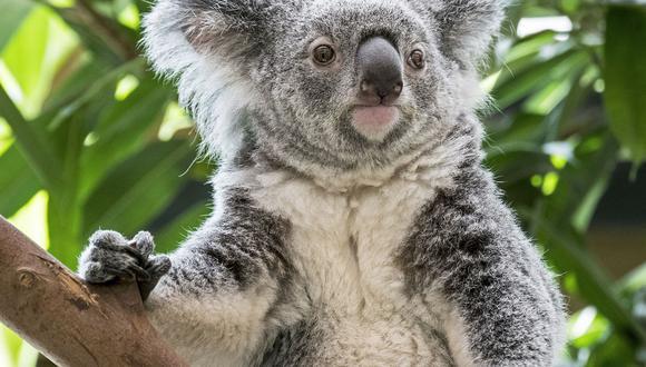 El dinero será donado a las organizaciones de protección de la vida silvestre que colaboran en los incendios ocurridos en Australia. (Foto: AFP)