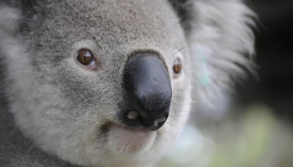Si bien tienen garras afiladas, los koalas son animales solitarios y en muy raras ocasiones atacan a los seres humanos. (Foto: Pixabay/Referencial)
