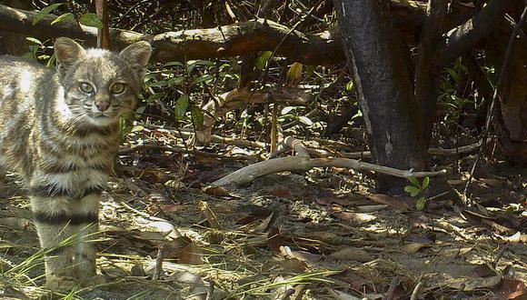 El Gato de pajonal (Leopardus colocolo) es uno de los felinos que habitan el Área de Conservación Privada Milpuj La Heredad. Foto: Cindy Hurtado y Álvaro García Olaechea.