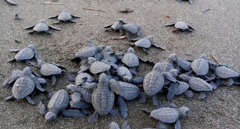 Mata Oscura es la playa con la temporada de anidación de tortugas marinas más larga del Pacífico panameño. Allí anidan especies en peligro crítico de extinción como la Carey y Lora. Foto: Fundación Agua y Tierra