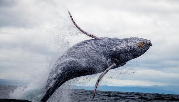 Muchos usuarios quedaron impresionados al ver cómo la ballena saltaba del agua. (Foto referencial - Pexels)
