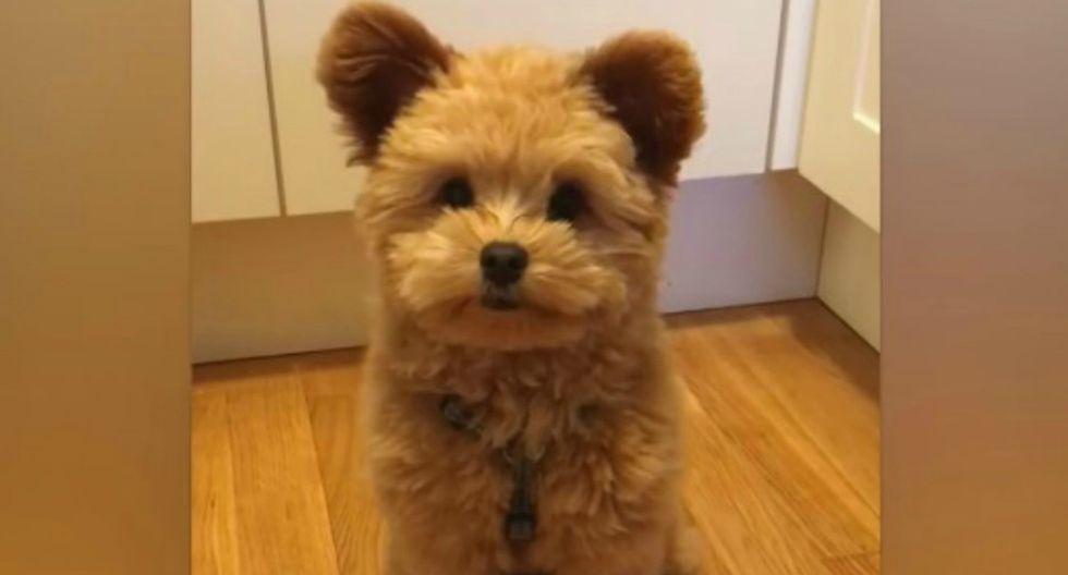 Su impresionante parecido con un oso de peluche lo ha convertido en toda una celebridad de las redes sociales. (Foto:Instagram/oliverthedogx)