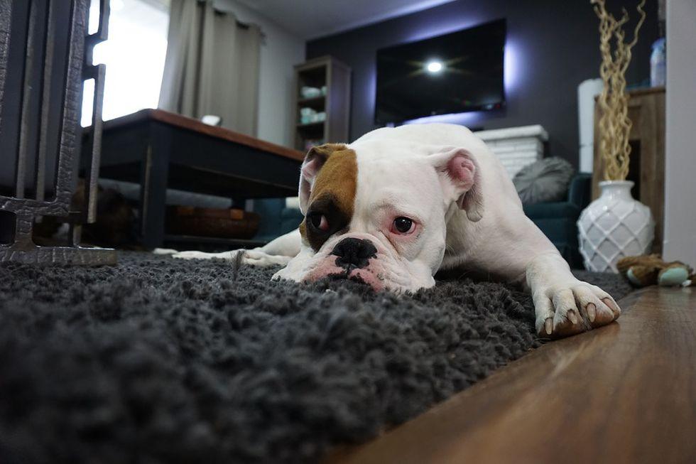 Las alfombras de pelo largo también le darán calor a tu mascota. (Foto: Pixabay)